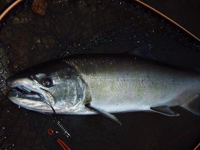 2009米代川サクラマス
