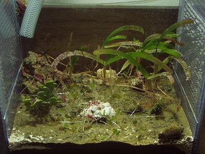 サンプ水槽 エコシステムもどき